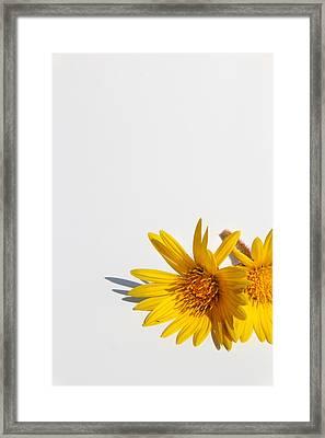 Isolated Yellow Chrysanthemum Flower Framed Print by Gal Ashkenazi
