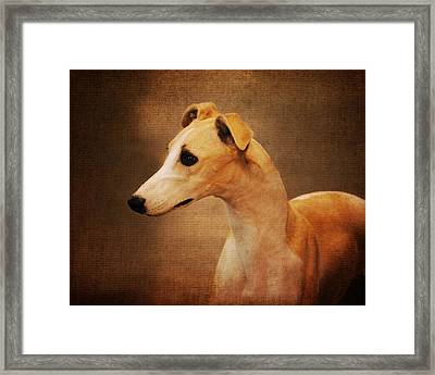 Italian Greyhound Framed Print