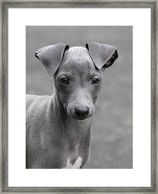 Italian Greyhound Puppy 2 Framed Print by Angie Vogel
