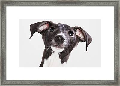Italian Greyhound Puppy Spruce Grove Framed Print by Leah Bignell