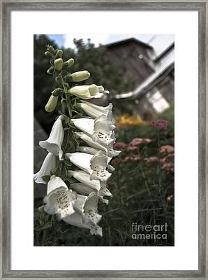 Ivory Foxglove Framed Print