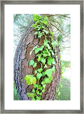 Ivy Tree Framed Print by Paula Deutz