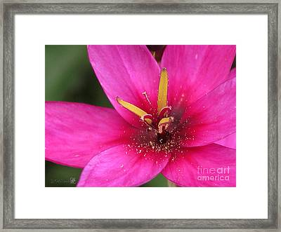 Framed Print featuring the photograph Ixia Named Venus by J McCombie