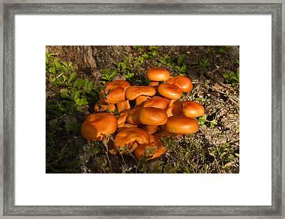 Jack Olantern Mushroom 1 Framed Print by Douglas Barnett