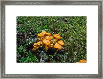 Jack Olantern Mushrooms 12 Framed Print