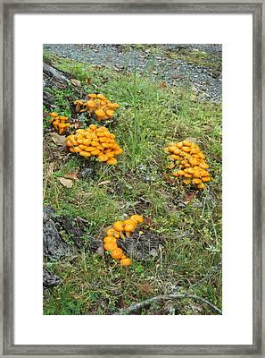 Jack Olantern Mushrooms 15 Framed Print by Douglas Barnett
