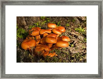 Jack Olantern Mushrooms 30 Framed Print by Douglas Barnett