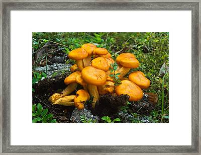 Jack Olantern Mushrooms 4 Framed Print by Douglas Barnett