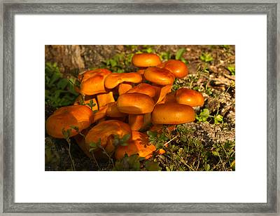 Jack Olantern Mushrooms 5 Framed Print by Douglas Barnett