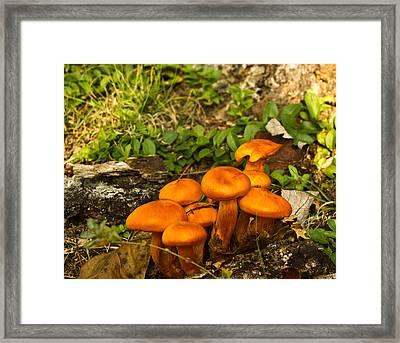 Jack Olantern Mushrooms 7 Framed Print by Douglas Barnett