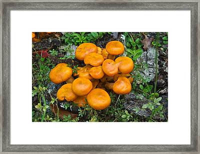 Jack Olantern Mushrooms 9 Framed Print by Douglas Barnett