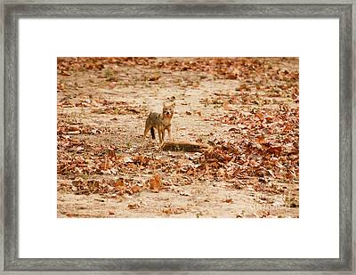 Framed Print featuring the photograph Jackal Standing Over Deer Kill by Fotosas Photography