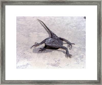 Jacky Lizard  Framed Print by Joanne Kocwin