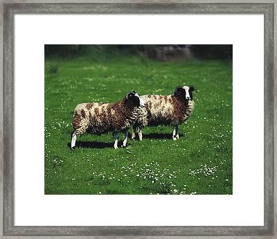 Jacob Sheep Framed Print