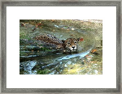 Framed Print featuring the photograph Jaguar In For A Swim by Kathy  White