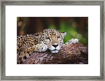 Jaguar Panthera Onca Portrait, Belize Framed Print by Gerry Ellis