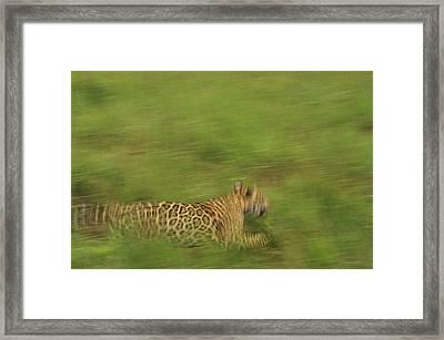 Jaguar Panthera Onca Running Framed Print by Claus Meyer