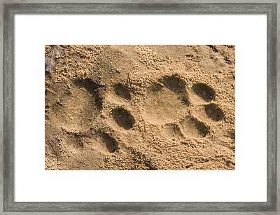 Jaguar Tracks Framed Print by Tony Camacho