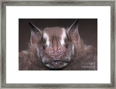 Jamaican Fruit Bat Framed Print by Dante Fenolio