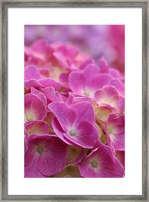 Japan, Kanagawa Prefecture, Sagamihara City, Close-up Of Pink Flowers Framed Print by Imagewerks