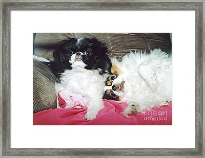 Framed Print featuring the photograph Japanese Chin Dogs Begging For Treats by Jim Fitzpatrick