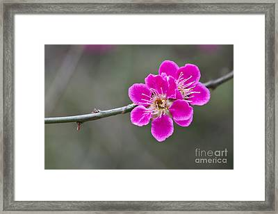 Japanese Flowering Apricot. Framed Print by Clare Bambers