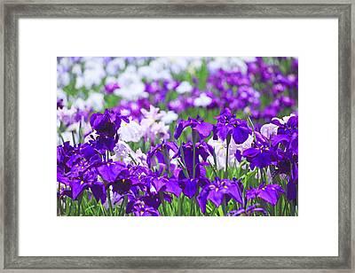 Japanese Iris Flowers In Field Framed Print by Imagewerks