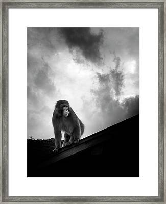 Japanese Macaque On Roof Framed Print by By Daniel Franco