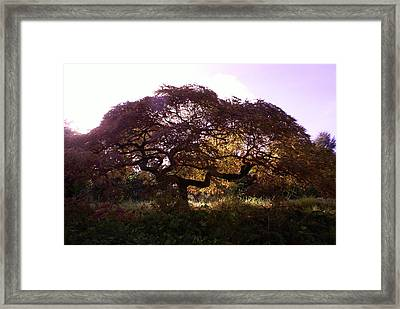 Japanese Maple Framed Print by Jerry Cahill