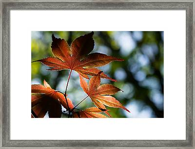 Japanese Maple Leaves Framed Print by Lori Coleman