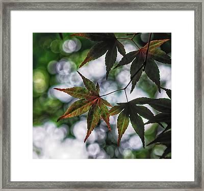 Japanese Maple Framed Print
