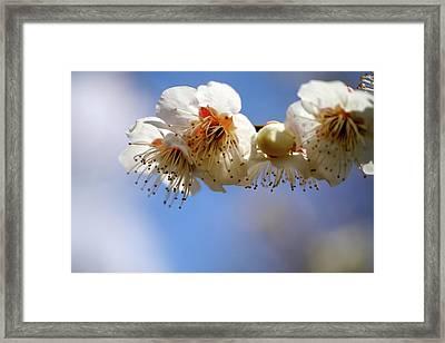 Japanese Plum Flowers Framed Print by T. Kurachi