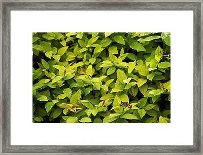 Japanese Spirea (spirea 'gold Flame') Framed Print