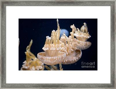Jellies Framed Print by Carol Ailles