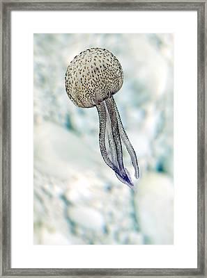 Jellyfish Framed Print by Mauro Fermariello