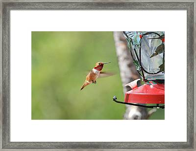 Jeweled  Rufous Framed Print