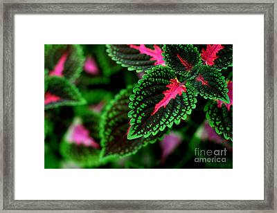 Joesphs Lace Framed Print by Chris Hill