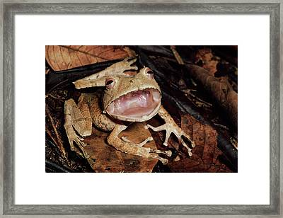 Johnsons Horned Treefrog Hemiphractus Framed Print by Michael & Patricia Fogden
