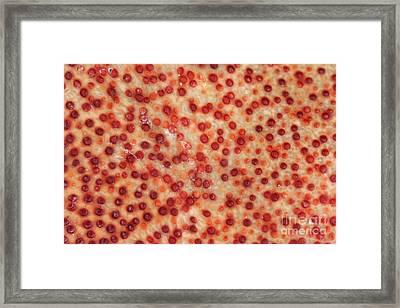 Jonah Crab Shell Framed Print by Ted Kinsman