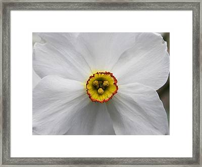 Framed Print featuring the photograph Jonquil by Michael Friedman