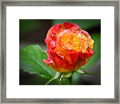 Framed Print featuring the photograph Joseph's Coat by Ronda Broatch