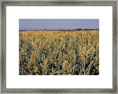 Jowar Crop Framed Print by Johnson Moya