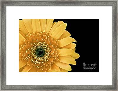 Joyful Delight Gerber Daisy Framed Print by Inspired Nature Photography Fine Art Photography