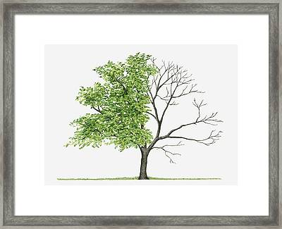 Juglans Cinerea (butternut): Illustration Showing Shape Of Deciduous Juglans Cinerea (butternut) Tree With Green Summer Foliage And Bare Winter Branches Framed Print