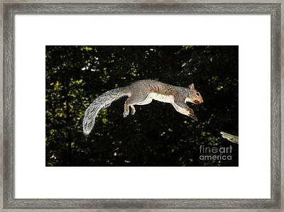Jumping Gray Squirrel Framed Print by Ted Kinsman