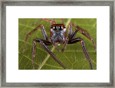 Jumping Spider Papua New Guinea Framed Print
