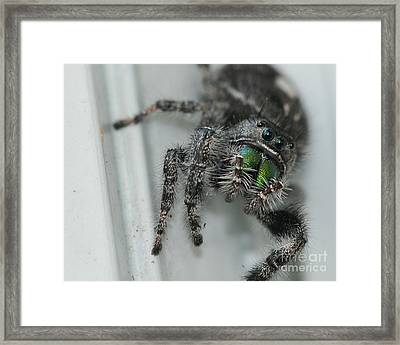 Jumping Spider Framed Print by Paul Ward