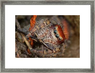 Jumping Spider Portrait Framed Print by Daniel Reed