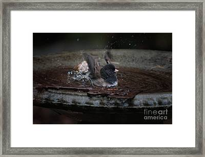 Junco In The Birdbath Framed Print by Carol Ailles