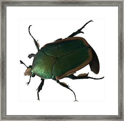 June Bug Framed Print by Dennis Hofelich